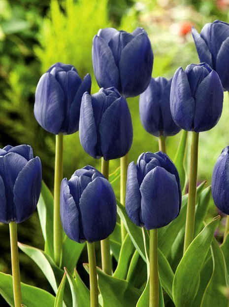 Tulipan (Tulipa) 'Blue Aimable'