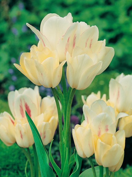Tulipan (Tulipa) 'Candy Club'