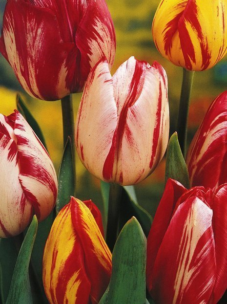 Tulipany (Tulpe) 'Rembrandt' mix 10