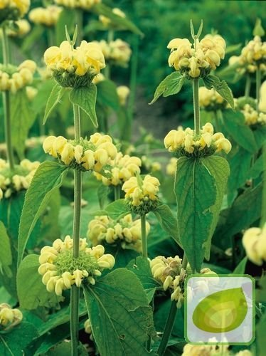 Żeleźniak (Phlomis) Russeliana