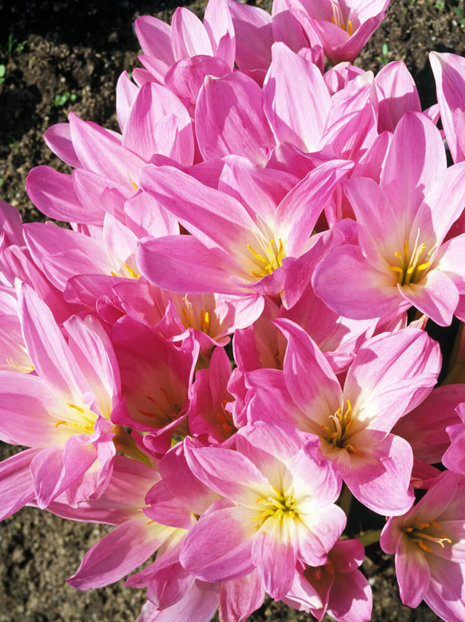 Zimowit Tani (Colchicum) The Giant