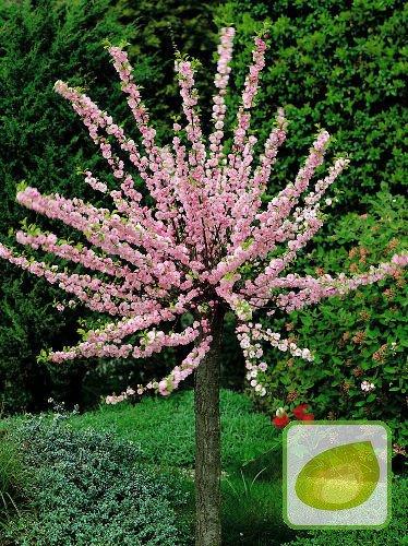 Migdałek Trójklapowy Prunus Triloba Drzewko