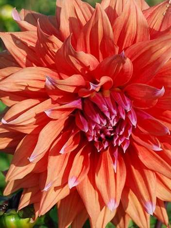 Dalia (Dahlia) Color Spectacle