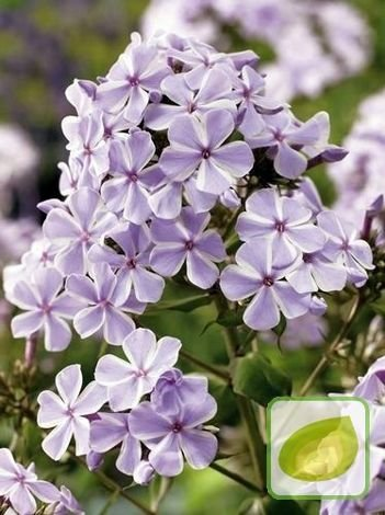 Floks (Phlox) All In One