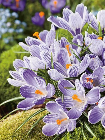 Krokus (Crocus) 'Pickwick'