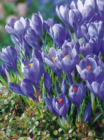 Krokus (Crocus) 'Remembrance'