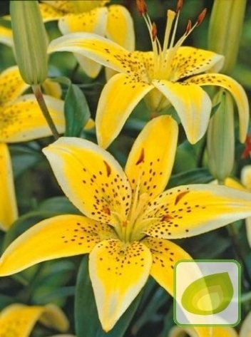 Lilia (Lilium) Yellow Electric