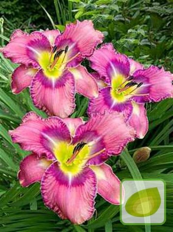 Liliowiec (Hemerocallis) Mildred Mitchell