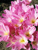 Zimowit Tani (Colchicum) 'The Giant'